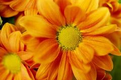 Orange spray Chrysanthemum Royalty Free Stock Images