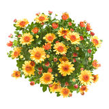 Orange Spraychrysantheme Lizenzfreies Stockfoto