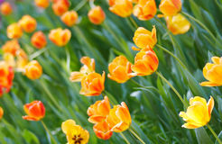 Orange spring bulbs Stock Photos