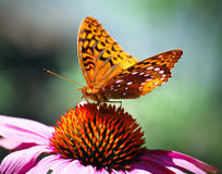Orange Spring Butterfly sitting on Pink Flower. A furry orange butterfly sitting on a pink flower in a spring flower garden Royalty Free Stock Photos