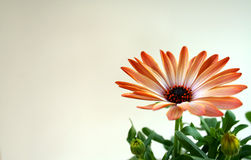 Orange spring flower. Orange flower with leaves Royalty Free Stock Image