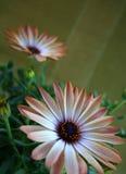 Orange spring flower Stock Image