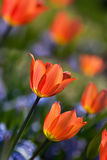 Orange spring tulips in bloom Royalty Free Stock Photo