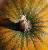 Orange Squash Stalk Stock Photo