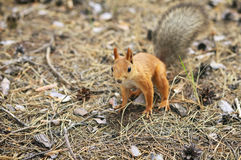 Orange squirrel Royalty Free Stock Photos