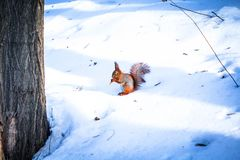 Orange squirrel eating in a snowy forest royalty free stock image