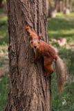 Orange squirrel royalty free stock photos