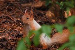 Orange squirrel stock photo