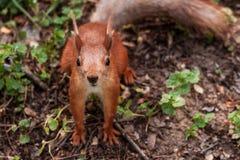 Orange squirrel royalty free stock images