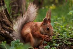 Orange squirrel. flurry squirrel holds in its paws a big nut sitting on green grass in the forest royalty free stock photos