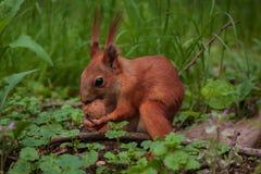 Orange squirrel stock photos