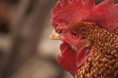 Orange stående för hane` s med det röda ögat Royaltyfria Foton