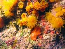 Orange star coral Stock Photos