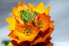 Orange Star Flower. Vibrant orange star flower with water drops royalty free stock photography