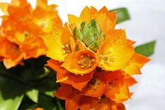 Orange Star Flowers. With water drops stock image
