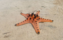 Orange Starfish. Starfish sits on sand in-front of sea gypsies makeshift Stock Images