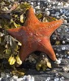 Orange Starfish Royalty Free Stock Photo