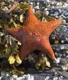 Orange Starfish. Shot on Orca Island beach, Alaska Royalty Free Stock Photo