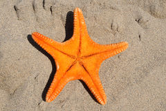 Orange starfish Stock Photography