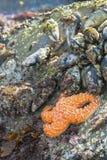 Orange Starfish Lizenzfreie Stockfotos