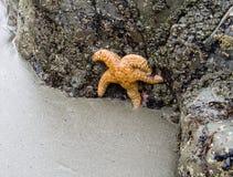Orange Starfish. One lare orange starfish on a rock at low tide Royalty Free Stock Photography