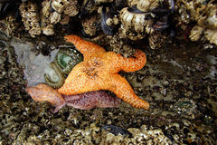 Orange starfish  exposed by low tides Stock Photo