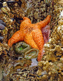 Orange starfish  exposed by low tides Royalty Free Stock Photography