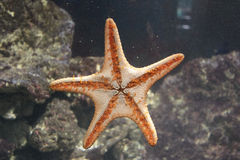 Orange starfish on glass Stock Photo