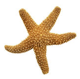 Orange Starfish Stock Image