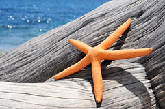Orange starfish on an old washed-out tree trunk on the beach. Closeup of an orange starfish on an old washed-out tree trunk on the beach, with a bright blue sea Royalty Free Stock Photos