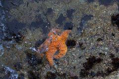 Orange Starfish partially submerged Royalty Free Stock Image