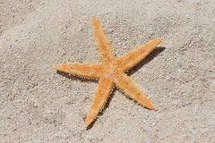 Orange starfish on sand beach Royalty Free Stock Images