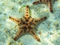 Orange starfish in shallow water of tropical sea.