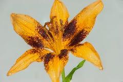 Orange Stargazer Lily Royalty Free Stock Photo