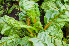 Orange stem chard Beta vulgaris Royalty Free Stock Photos
