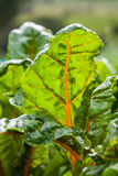 Orange stem chard Beta vulgaris Stock Images
