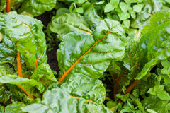 Orange stem chard Beta vulgaris Stock Photos