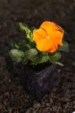 Orange Stiefmütterchenblume im Topf auf dem Boden Stockbilder