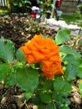 Orange stieg auf Blumenbeet Stockfotos