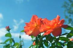 Orange stieg auf dem Himmel Stockbilder