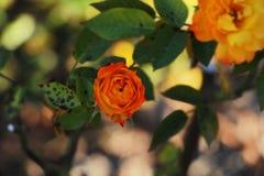 Orange stieg in den Garten lizenzfreies stockfoto
