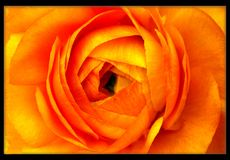 Orange stieg Makroblume im schwarzen Segeltuchhintergrund lizenzfreie stockbilder