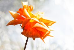Orange stieg in sunglight stockfotos