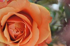 Orange stieg von oben Lizenzfreie Stockbilder