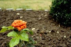 Orange stieg in Yard Stockbild