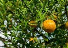 Orange still on the tree Royalty Free Stock Image