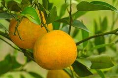 Orange still on the tree Stock Image