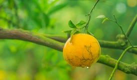 Orange still on the tree Royalty Free Stock Photography