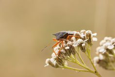Orange stink bug on a plant Royalty Free Stock Photos