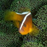 Orange Stinktier clownfish, Amphiprion sandaracinos Bangka Sporttauchen in Nord-Sulawesi, Indonesien stockfotos